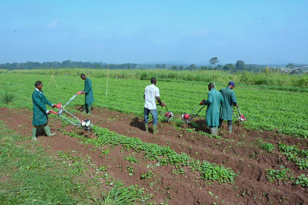 IITA modified simple motorized weeders being used on a cassava field in Ibadan
