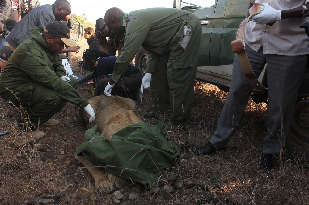 Kenya Wildlife Service capture and research team  is seen with Nyala one of the 5 lions to be collared during colaring of lions at Nairobi National Park on 23rd January 2017.