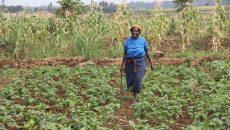 Elizabeth Wambui indigenous vegetable farmer from Block Kamuchege A village in Mwea East inside her half an acre farm